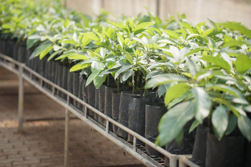 Stromy avokáda a ich rozmnožovanie