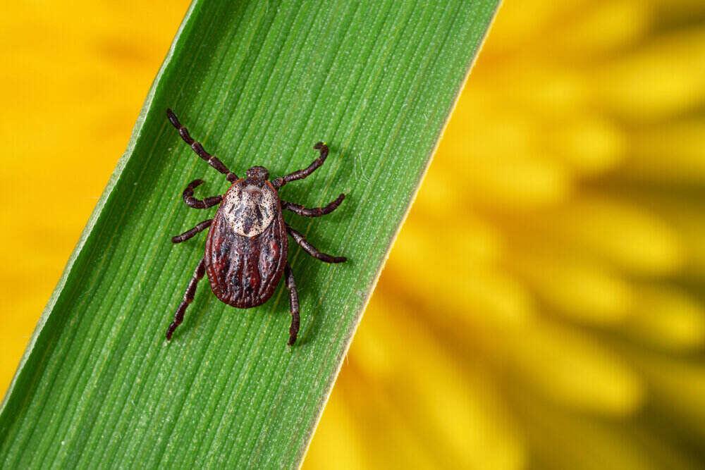 Makro fotografia kliešťa na zelenej tráve. Parazit šíriaci nebezpečné choroby ako zápal mozgových blán a borelióza.