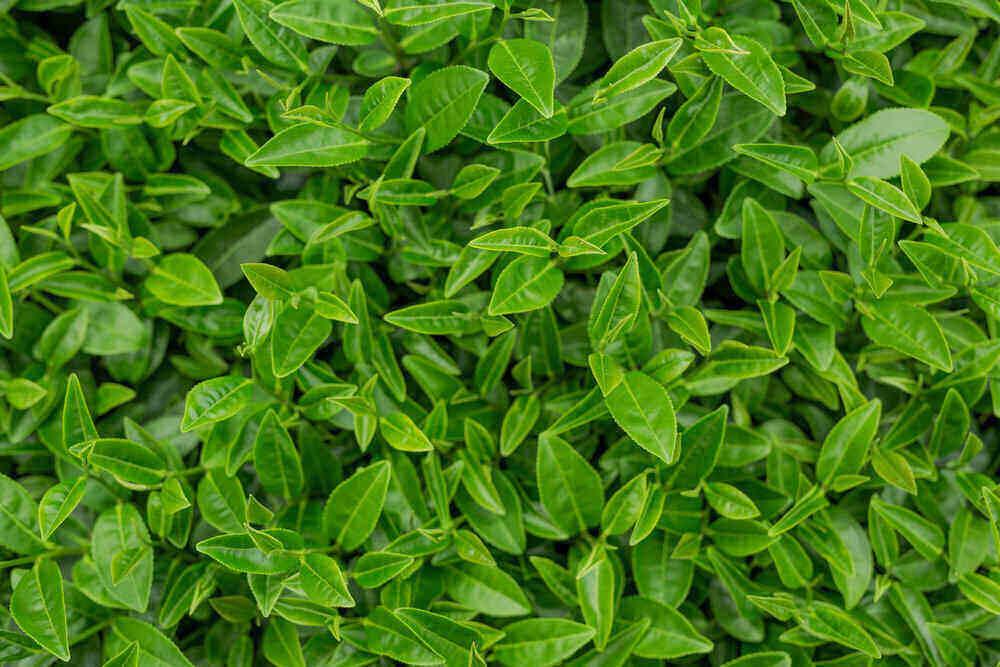 Listy zeleného čaju na čajových plantážach
