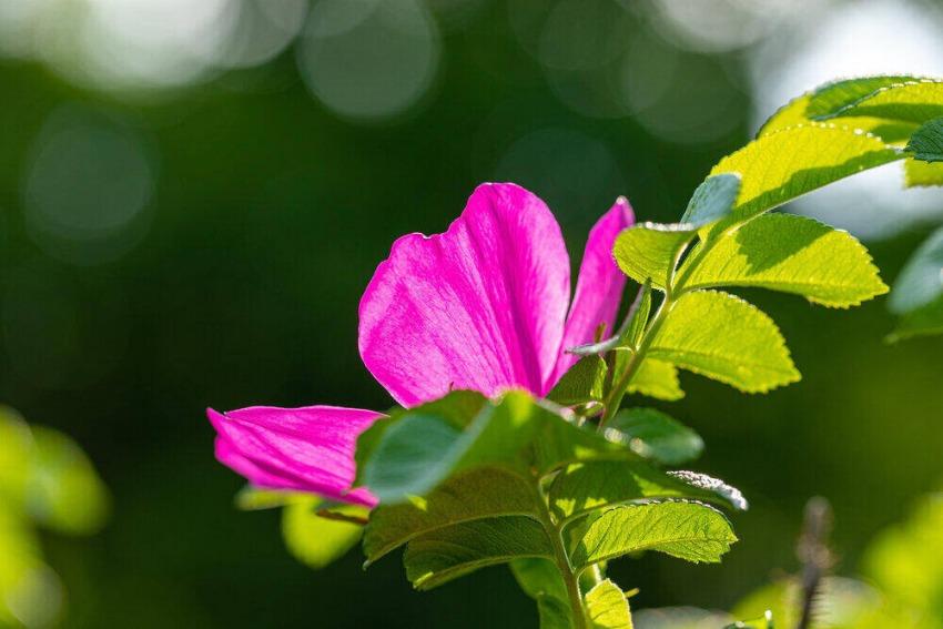 kvet šípky