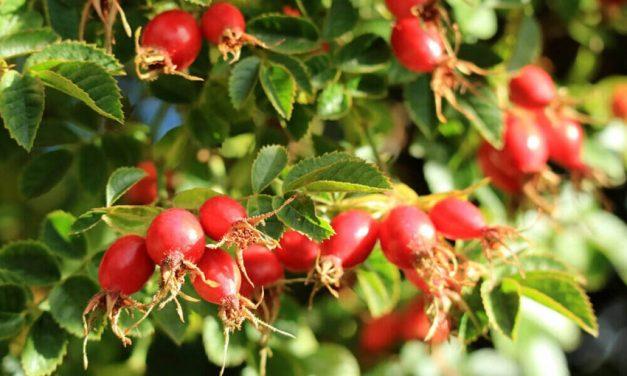 Šípky patria do kuchyne! Aké účinky má šípkový čaj na naše zdravie?